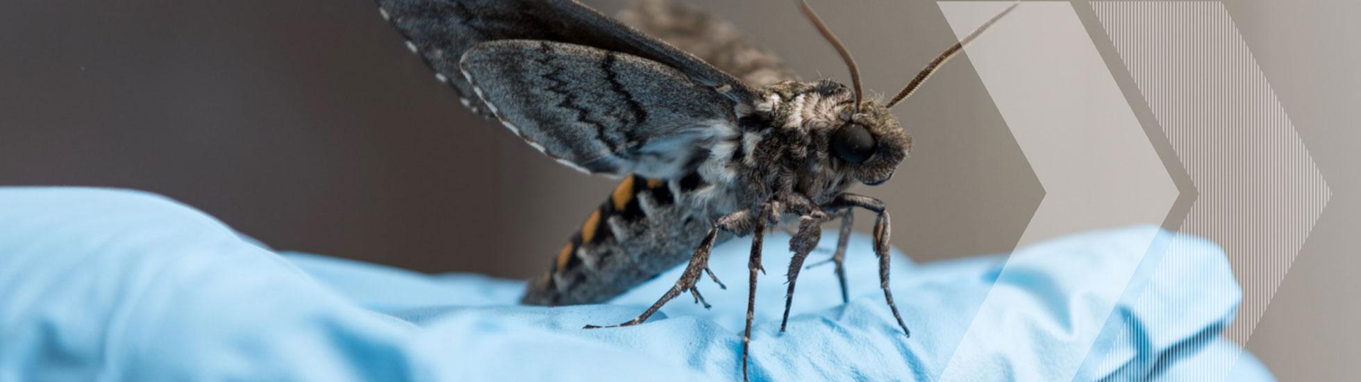 Hawk moth on a blue glove in Simon Sponberg's lab