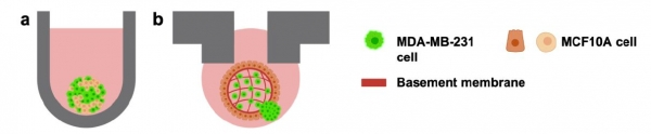 Inverted Organoids for Breast Cancer and Other Invasion Studies