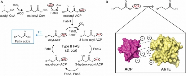 Increasing Medium-Chain Fatty Acid (MCFA) Yield in Bacterial Host with Engineered Enzyme