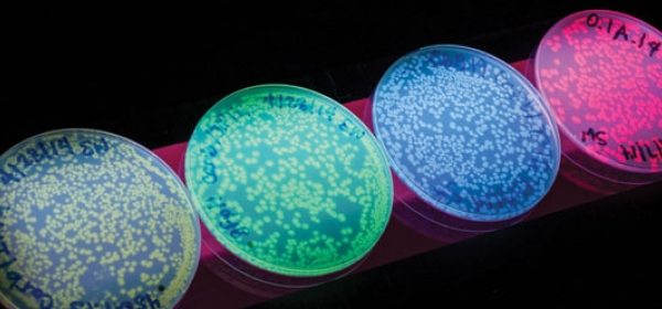 Four petri dishes with phosphorescent dye that can highlight cancer cells.